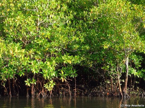 A closer look to the mangroves of Cagbalete.