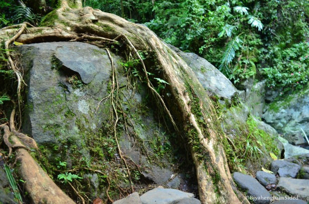 large roots that enveloped a boulder