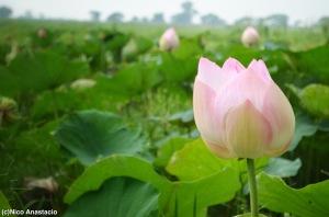 Huge flowers in the swamp.