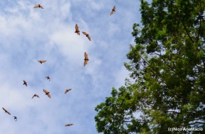 A number of fuit bats just along the highway of Subic.