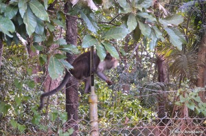 A monkey taking a tour along the highway of Subic.