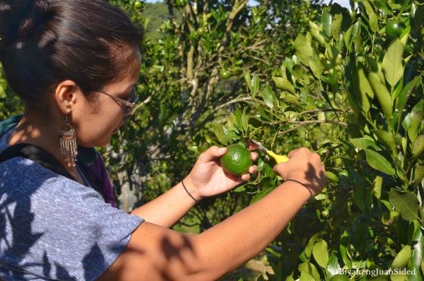 picking some oranges