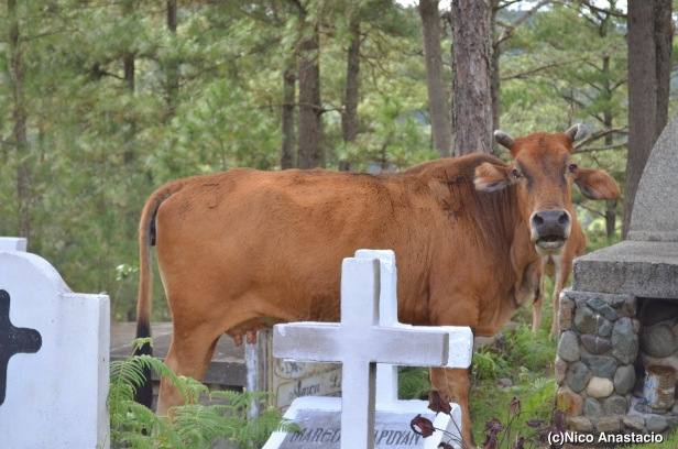 a cattle in the cemetery