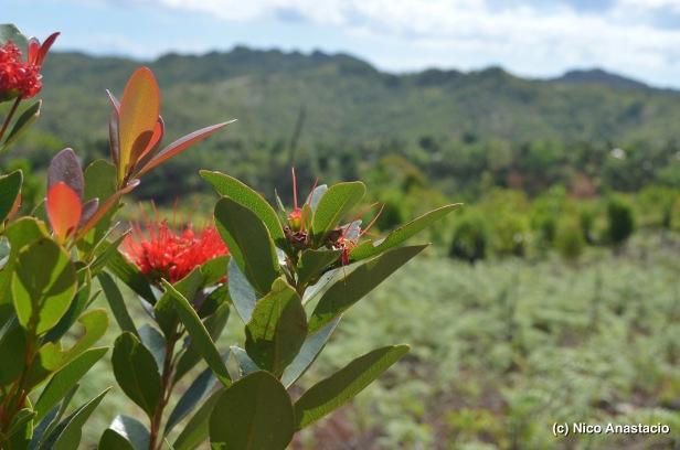 Philippine Ironwood (Mangkono) in Sering Falls