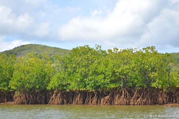 Mangrove forest along the Maytubig river