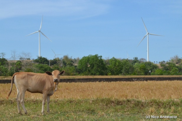 cow in the dry rice field