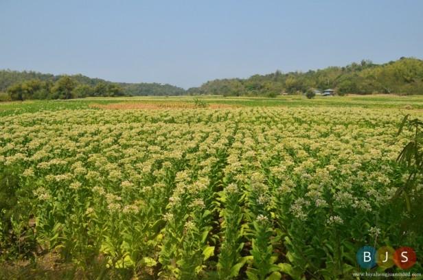 the vast plantation of Tobacco