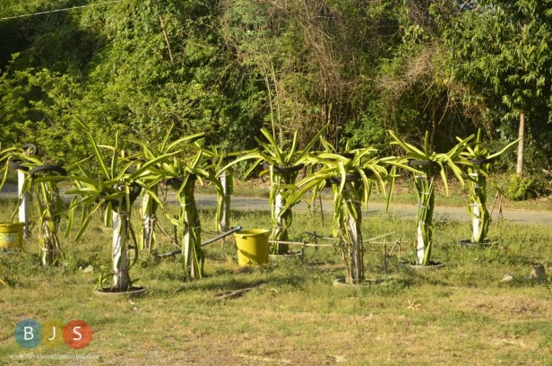 dragon fruit plants